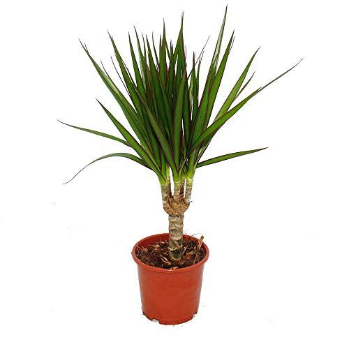 Exotenherz - Drachenbaum - Dracaena marginata - 1 Pflanze - pflegeleichte Zimmerpflanze - luftreinigend- 12cm Topf