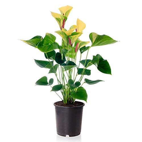Sense of Home blühende Zimmerpflanze Flamingoblume Orange - Anthurium Andreanum - trendige & pflegeleichte Indoorpflanze mit Blüten - Liefergröße ca. 55-65cm - Blütezeit: Mai- Juni