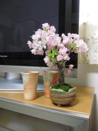 八重桜旭山桜盆栽咲いたときはリビングお花見桜盆栽綺麗な八重のピンクのサクラです