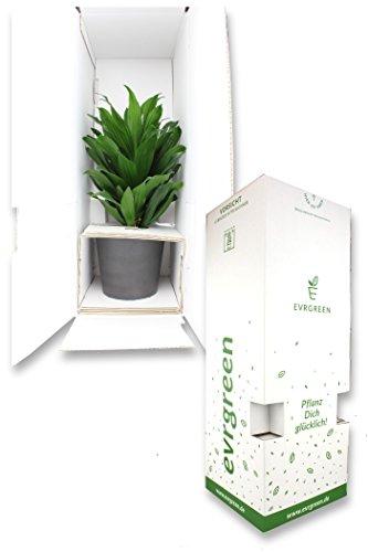 Zimmerpflanze Efeu in Hydrokultur