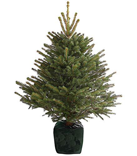 Dehner Stech-Fichte, im Topf gewachsen, lange Nadeln, ca. 100-125 cm, Weihnachtsbaum