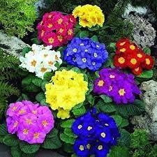 Elwyn 20 Primrose Colorado Max 40% OFF Springs Mall Seeds Flower
