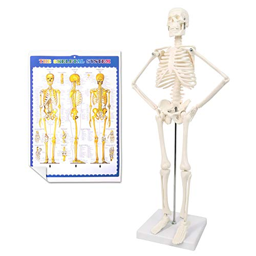 """2021 Newest Design Human Skeleton Model,Scientific Anatomy Human Body model,17.7"""" High with Bones Structures,Whole Spine and Ribs of the Skeleton Model are Integrated"""