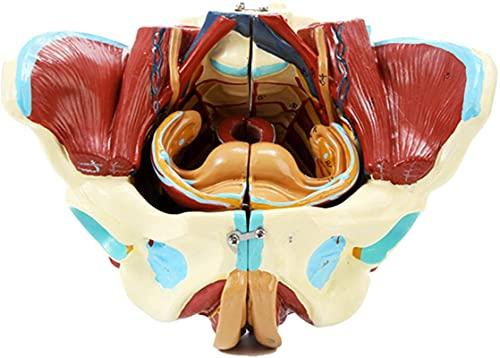 Modelo de estudio Modelo de pelvis femenino - Modelo anatómico anatómico del músculo del nervio vascular - Modelo de anatomía de la anatomía del órgano humano Modelo de pelvis de tamaño de vida con ór