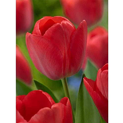 Tulpe 'Lady van Eijk' - Tulipa, rot - 3 Zwiebel im Topf vorgetrieben, in Gärtnerqualität von Blumen Eber - 11 cm