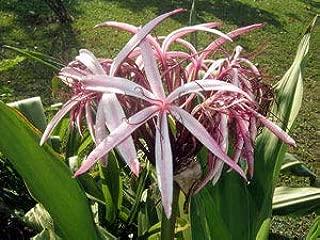Crinum AMABILE Donn Plant