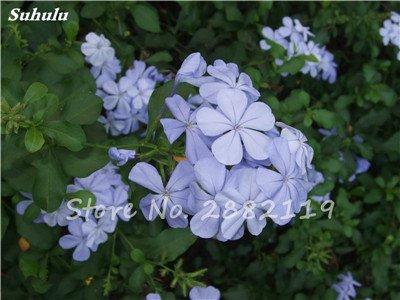 Belle Bonsai Blanc Saxifraga « Neige de printemps » Graines de fleurs vivaces De jardin les plus populaires Nature Plantes à effet de serre 120 Pcs
