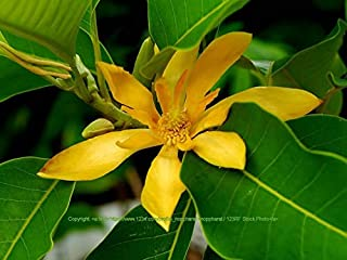 5 Seeds Joy Perfume Tree Rare Magnolia Family Stunning Orange Blossom Aromatic Blooms All Year Container Gardening Michelia Champaca by Alyf Market