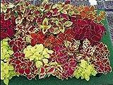Coleus Fairway Mix 1,000 (LMS) Seeds