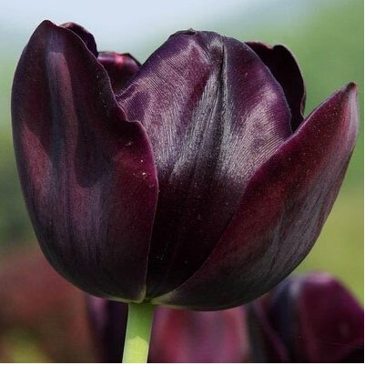 Rare Tulipes arc Fleurs Graines d'extérieur Bonsai Plantes en pot de fleurs pour Mini Décor de jardin Facile à cultiver 120 pcs / sac 20