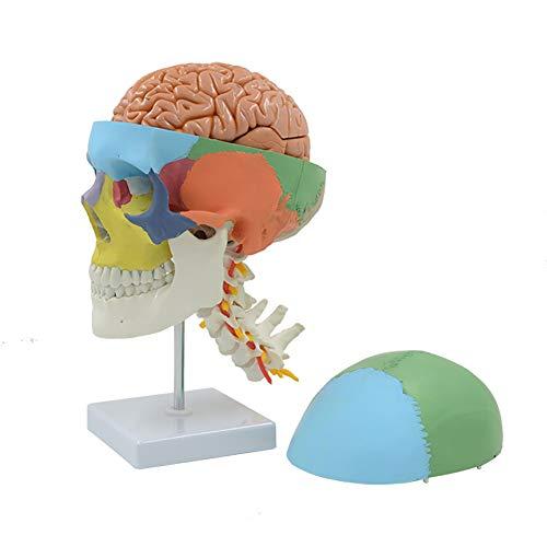 WJER Schädel Modell Menschliche Anatomie, anatomisches Modell Mit SockelUnd die HirnarteriePVC umweltfreundliches Material