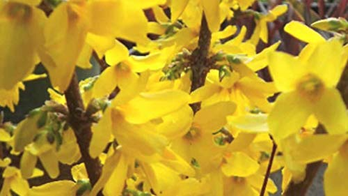 SmartMe Live Plant - Forsythia Lynwood Gold-Golden Bells (Forsythia xintermedia 'Lynwood') 4' Pot...