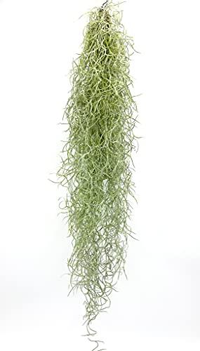 Tillandsia usneoides | Luftpflanze |...