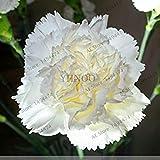 ホームガーデンは10を植えるための100pcs /バッグレアカーネーションの種花の種caryophyllus花の種