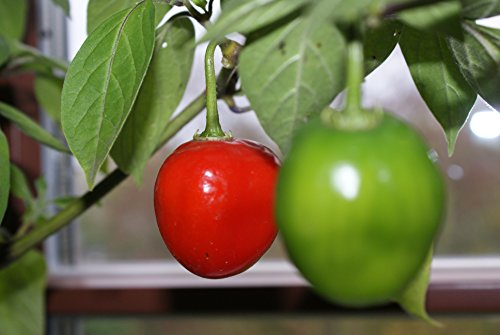 10 x Baumchili Samen – Capsicum pubescens