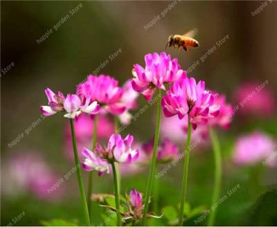 Versandkosten 100 Stück Stück Chinese Astragalus Sinicus Purple Flower Bonsai Garten Vier Jahreszeiten Blume Pflanze Säen Einfach: 9