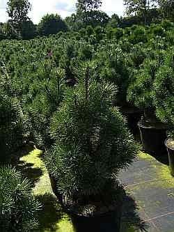 Zwergkegelkiefer Columnaris - Pinus mugo Columnaris 30-40cm