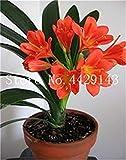 Potseed 100 Pz Clivia, raro della Clivia Fiori, Piante in Vaso dedicato davanzale perenne Fiore per Garden Decor: 8