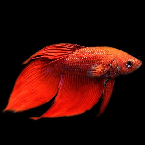 (熱帯魚)ベタ トラディショナル オス 赤系(約5cm)(1匹)[生体]