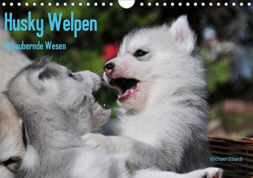 Husky Welpen (Wandkalender 2020 DIN A4 quer): Siberian Husky Welpen sind wahre Schönheiten. Davon kann man sich beim Anblick dieser Bilder überzeugen (Monatskalender, 14 Seiten ) (CALVENDO Tiere)