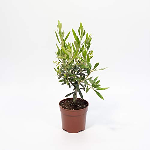 OLIVO miniatura tipo Bonsai - PLANTA VIVA en maceta de 14cm