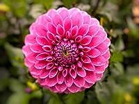 ダリア球根 - 赤い美しい家の装飾ダリア球根、素敵な家の装飾植物,Pink,4球根