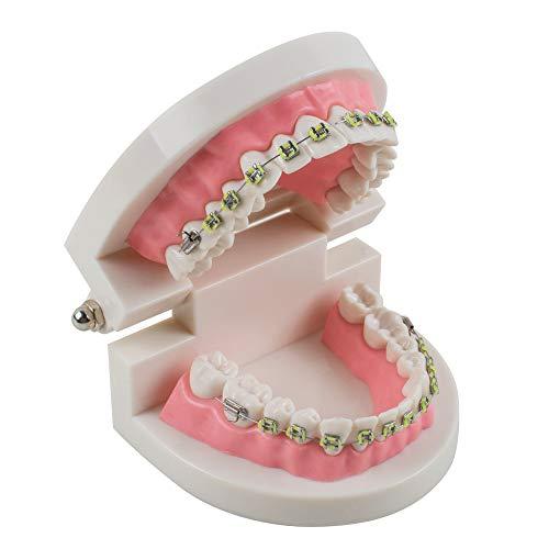 Fencia Dental Model Teach Study Adult Dentist Typodont Demonstration Teeth Model with Brackets