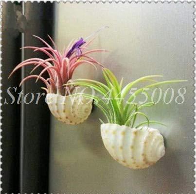 Bloom Green Co. Rare Violet broméliacées Tillandsia bulbosa Air plante très facile croissance Lazy plante Bonsai SeedFor jardin 100 pièces: 12