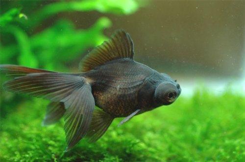 金魚 黒出目金 3匹 [生体]