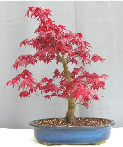 ShopMeeko Seeds:20 Japanese Red Maple Tree bonsais - Acer palmatum atropurpureum - Bonsai