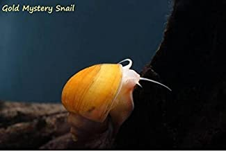 Imperial Tropicals Mystery Snail Combo Pack - Gold, Black, Albino, Ivory, Blue! Pomacea sp.