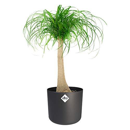 Zimmerpflanze von Botanicly – Elefantenfuß in anthrazitfarbenem zylindrischen Übertopf als Set – Höhe: 80 cm – Beaucarnea recurvata