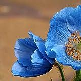 ASTONISH I semi del pacchetto: pacchetto / 100Pcs: Semi 100Pcs balcone giardino ornamentale Bonsai Fiore di mais Semi di papavero Lm 01