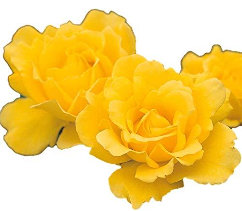 バラ苗 ヘンリーフォンダ 国産新苗植え替え6号スリット鉢 ハイブリッドティー(HT) 四季咲き大輪 黄色系