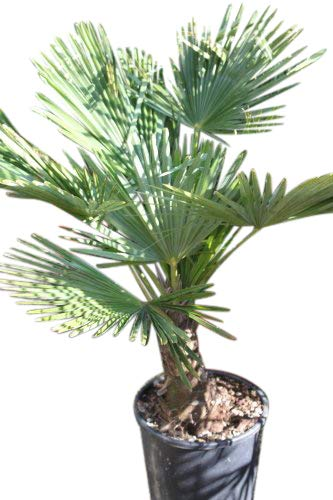 Olive Grove Trachycarpus fortunei, Palmier de Chusan Hauteur 40 cm