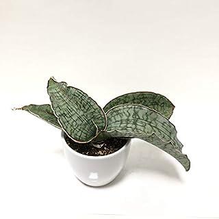 (株) 赤塚植物園 ② 珍しい サンスベリア シルバーブルー 3.5号白陶器鉢植え