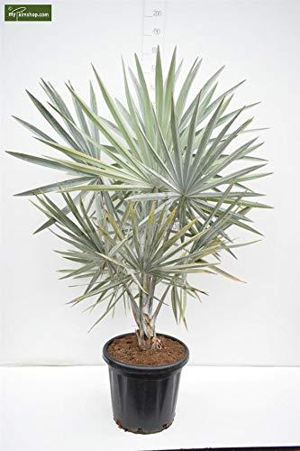 Bismarckia nobilis, Bismarckpalme, Gesamthöhe: 150-170cm Stamm 20cm Topf Ø 40cm