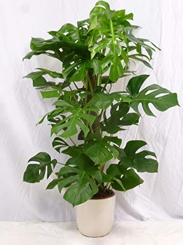 [Palmenlager] - Monstera pertusum - Fensterblatt - 120/140 cm/Lieferung inkl. Rankhilfe // Zimmerpflanze mit großen Blättern