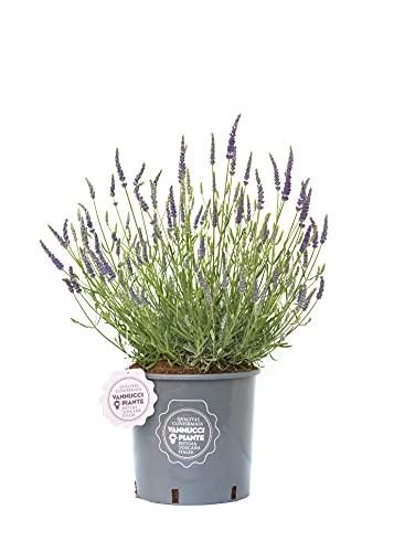 Lavandula angustifolia 'Hidcote' compatta, Lavanda, Pianta vera in vaso Vannucci Piante, Pianta da terrazzo