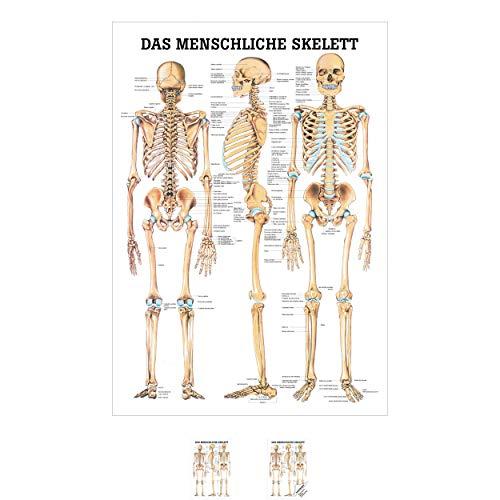 Sport-Tec Das menschliche Skelett Mini-Poster Anatomie 34x24 cm medizinische Lehrmittel