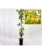 Limonero EUREKA o 4 ESTACIONES - Plantón 1 metro - PLANTA VIVA