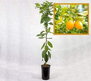 Limonero EUREKA o 4 ESTACIONES - Plantón 1 metro - PLANTA