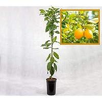 Limonero EUREKA o 4 ESTACIONES - Plantón 1 metro - PLANTA VIVA (1)