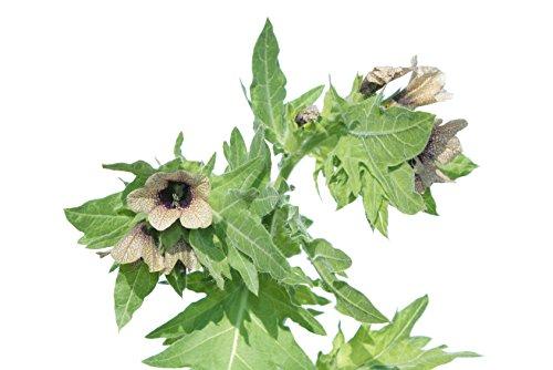 Schwarzes Bilsenkraut Hyoscyamus niger 150 Samen