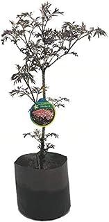 (株)赤塚植物園 ④ 魔法の杖の材料?!西洋ニワトコ サンブカス エルダーフラワーの木 ブラックレース(8号程度)