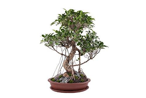 Ficus benjamina Samen - Birkenfeige 20 Samen- Zimmerpflanze oder perfekt für Bonsai