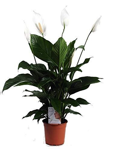 Einblatt, (Spathiphyllum), pflegeleichte Zimmerpflanze, verbessert das Raumklima und Luftqualität, (ca. 55cm hoch, im 17cm Topf)