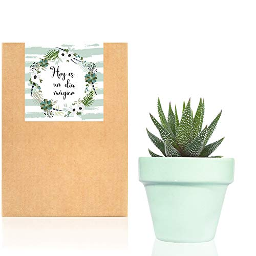 Planta Suculenta o Cactus natural en maceta verde pastel Sweet Mint - Planta para regalar entregada en caja de cartón kraft con mensaje'Hoy es un dia mágico' (Crasa)