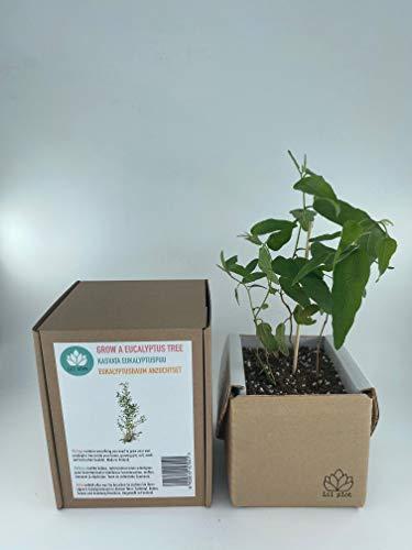 Lil plot   Eukalyptusbaum Anzuchtset   Grow your own Eucalyptus tree   Wachstumsgarantie   Growth guarantee