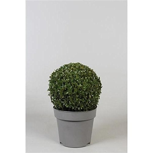 1 Pflanze Buchsbaum-Kugel 22-25 cm Ø Buxus sempervirens sempervirens